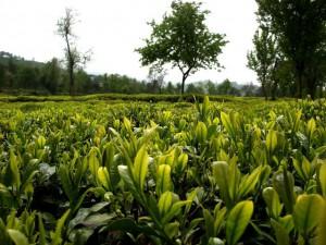 Чай из Амшена является одним из главных экспортных товаров черноморского побережья Турции